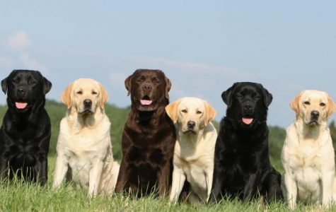 Why You Should Consider Owning a Labrador!